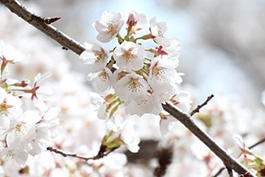 special-cherry-blossoms.jpg
