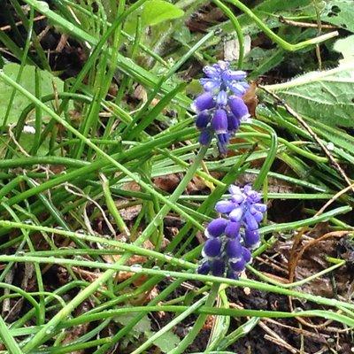 ムスカリの花の様子