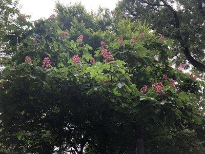 ライラックの花が咲いている様子
