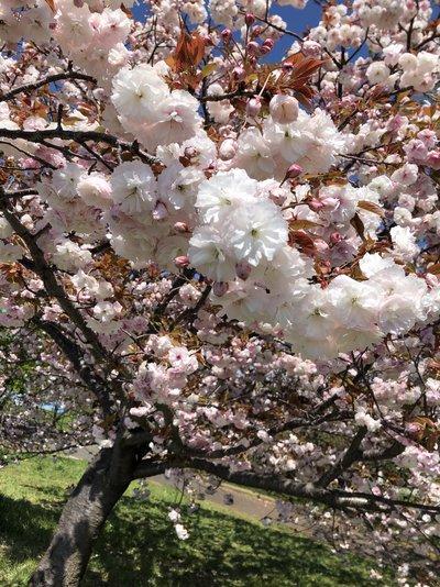 去年撮影した桜
