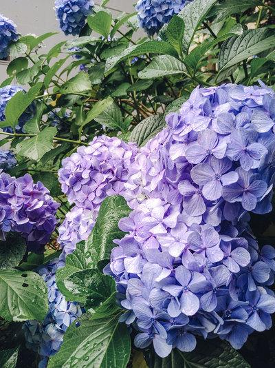 大学のアジサイの花