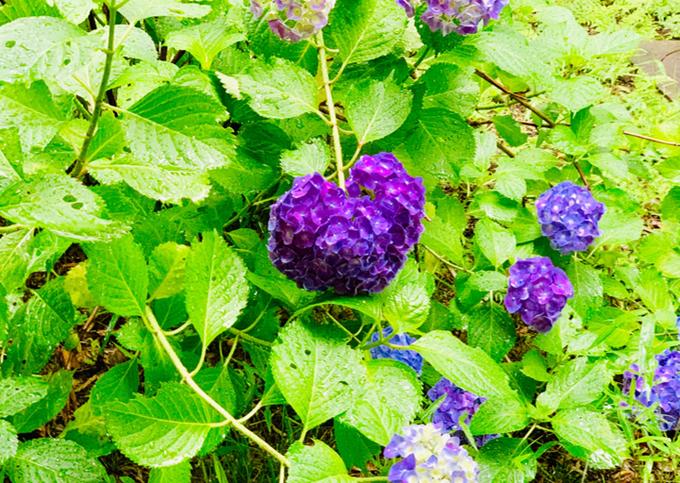 0628日髙紫陽花.pngのサムネイル画像
