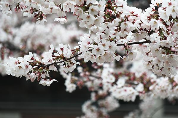 図書館前の桜